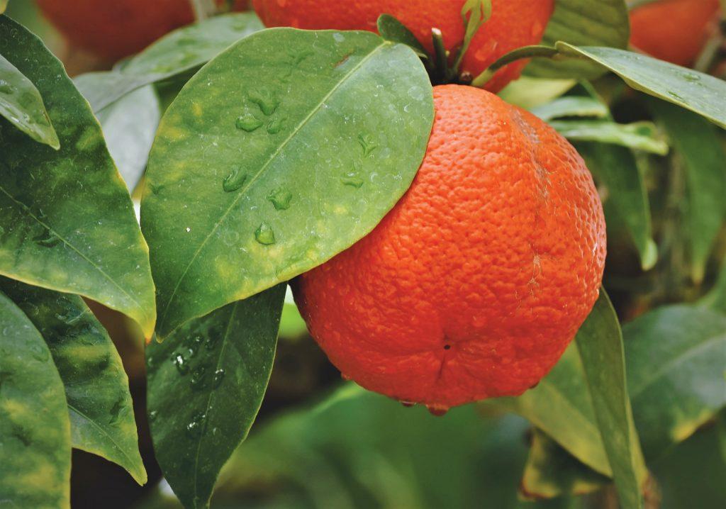 Битва апельсинов